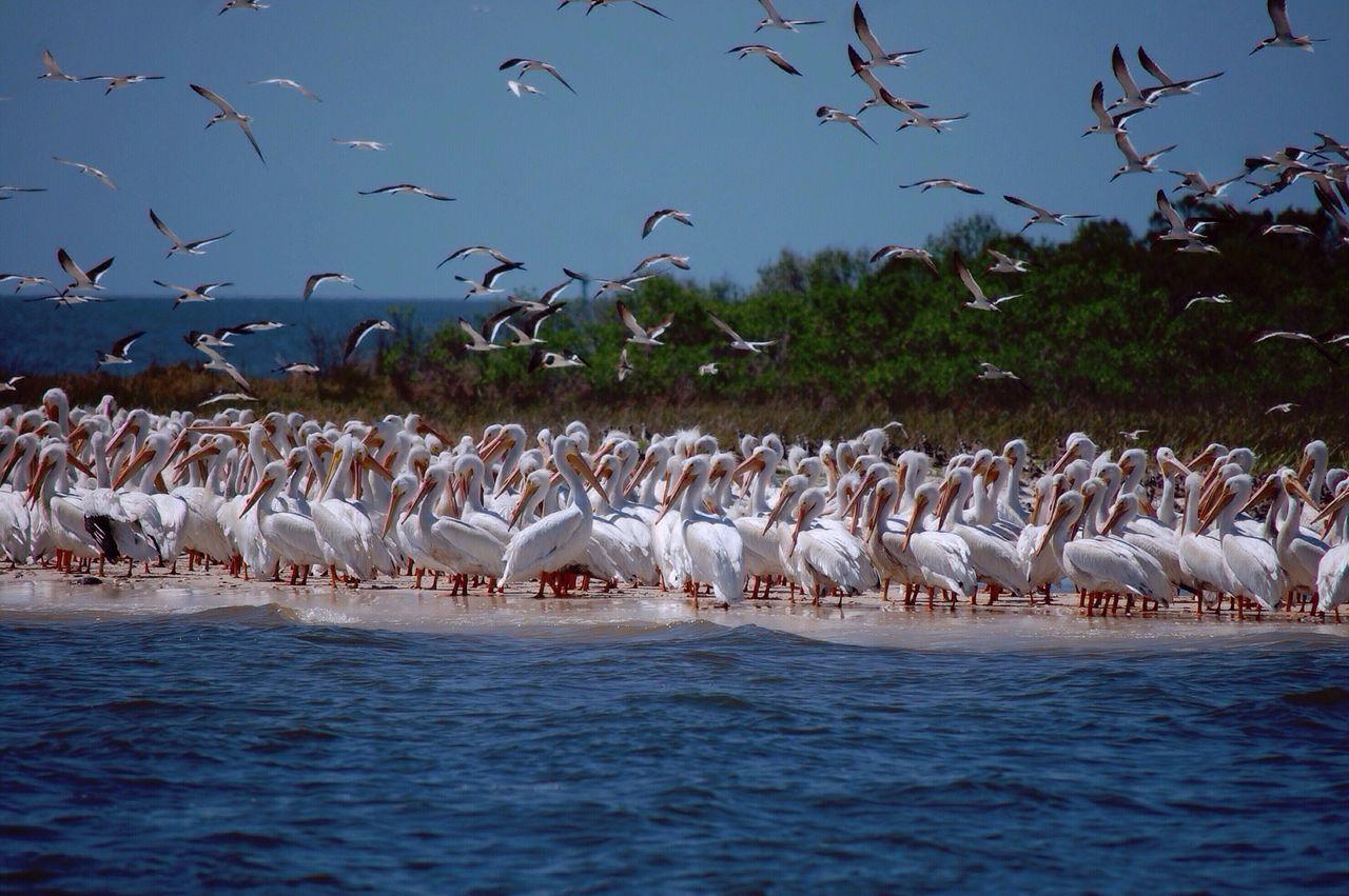 Flock Of Pelicans Beach Albino Pelicans Island Cedar Key Birds Florida Pelicans Gulf Of Mexico Cedar Key National Wildlife Refuge