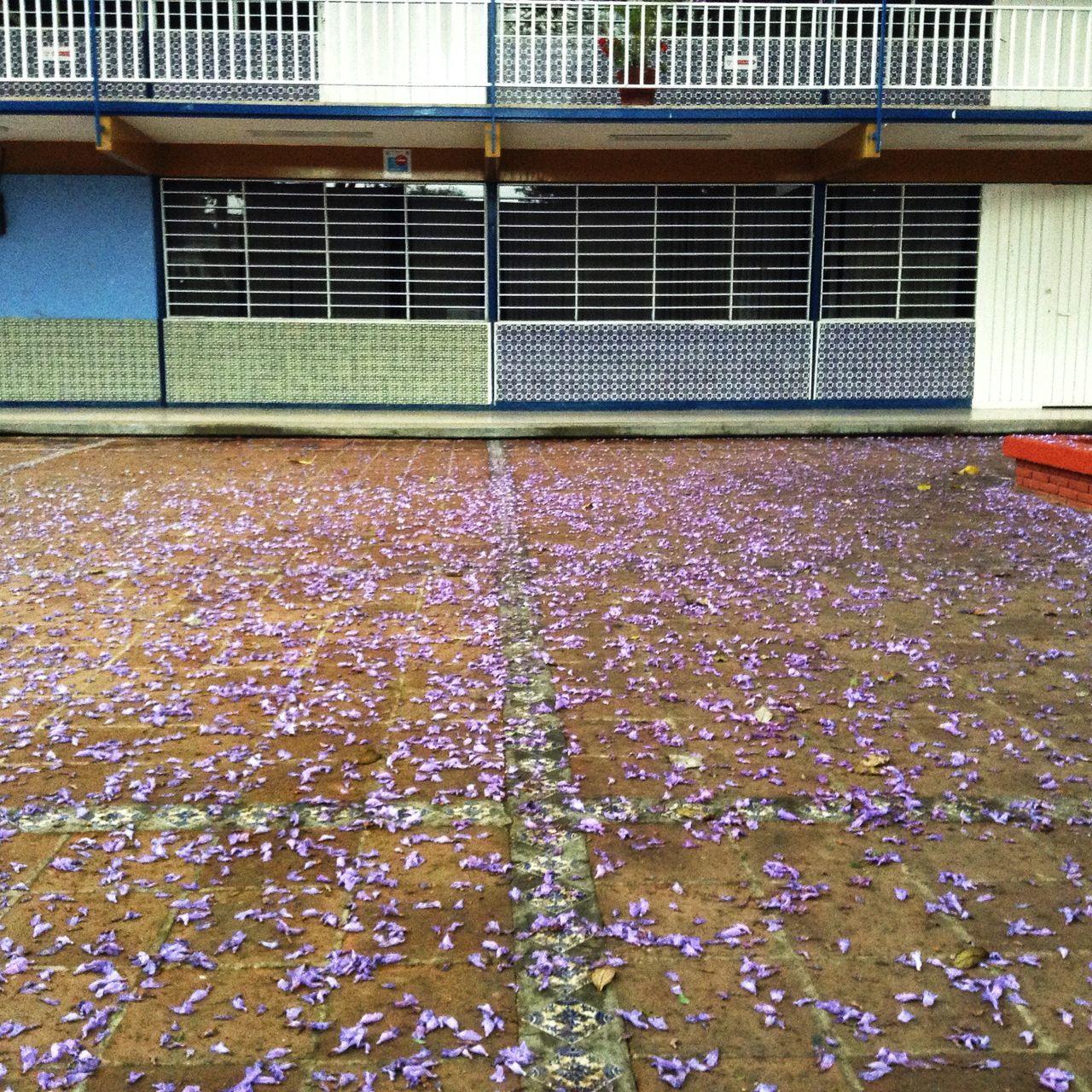 Purple carpet on the school Long Live Jacaranda