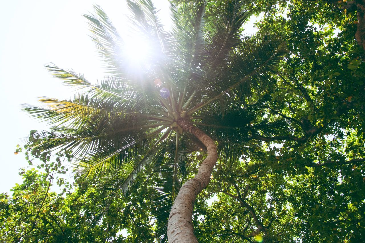 with the first rays of sun, darkness disappears Maldives Velidhoo Tree Low Angle View Nature Outdoors Forest Sky Growth Palm Tree Tree Trunk Beauty In Nature Day Tree Area Scenics Sun Sunlight Sunrays White Green