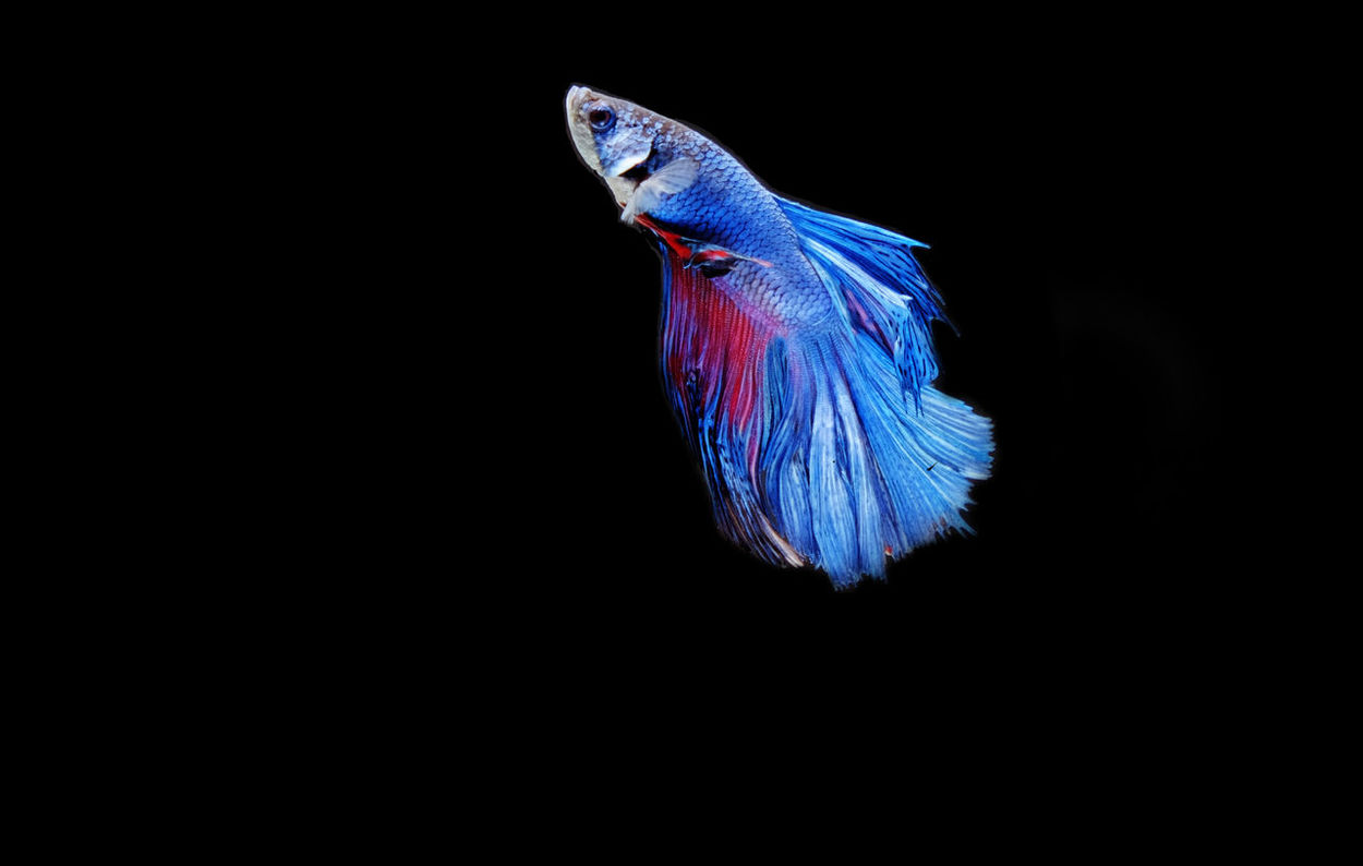 Fighter Fish Black Background No People Multi Colored Studio Shot Blue Innovation Outdoors Close-up Day Animals In The Wild Beauty In Nature UnderSea Freshness Full Length Peacock Feather Fragility Nature Spread Wings Focus On Foreground Sky Animal Themes Indoors  Animal Wing Water
