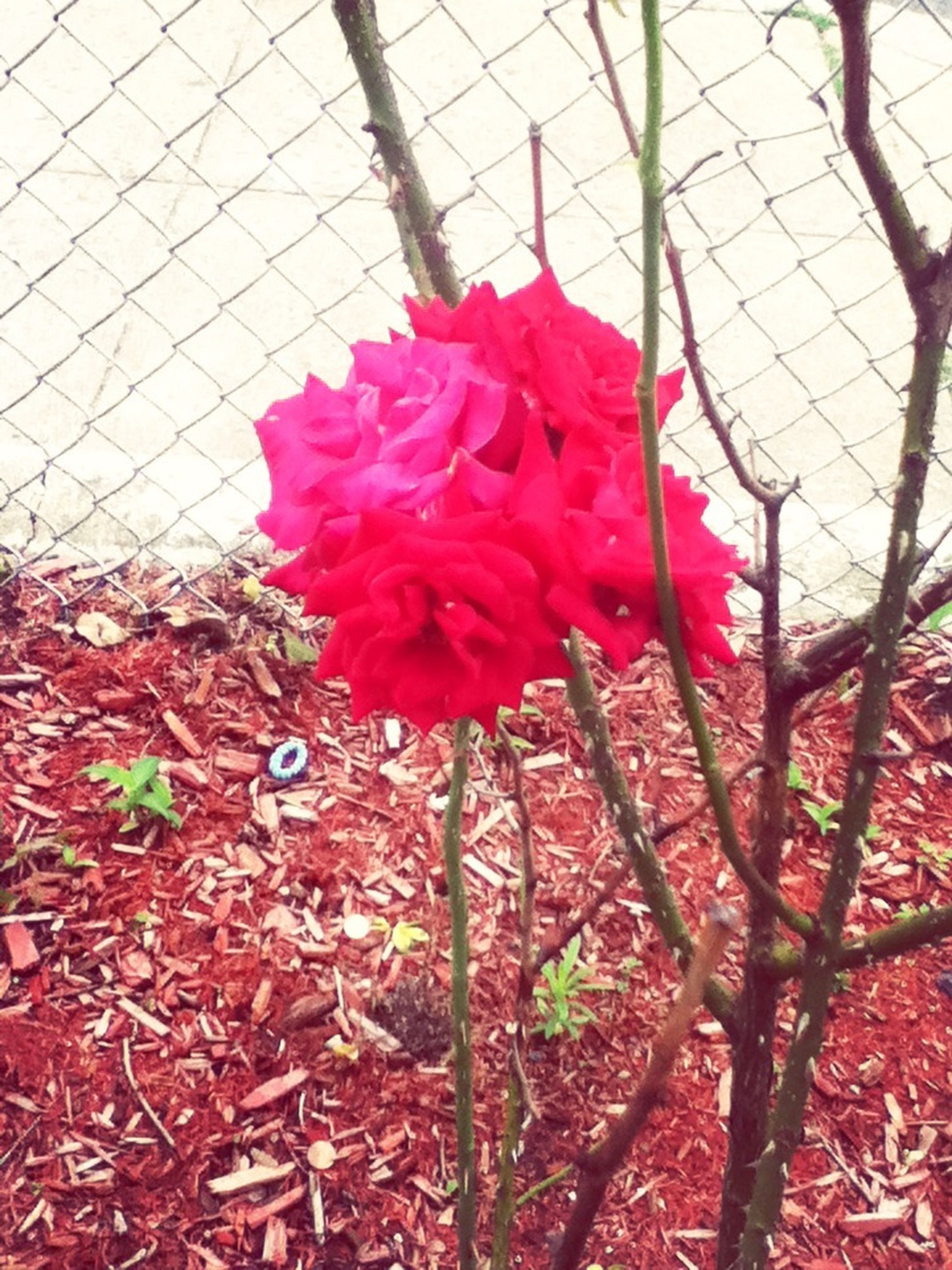 flower, fragility, red, growth, pink color, freshness, plant, petal, nature, beauty in nature, blooming, leaf, chainlink fence, flower head, close-up, day, no people, in bloom, built structure, fence
