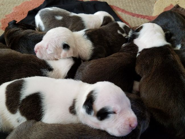 Pyppies Pyppy Baby Puppies Puppy Love Eyem Puppy Baby Pitbull Bully Puppies