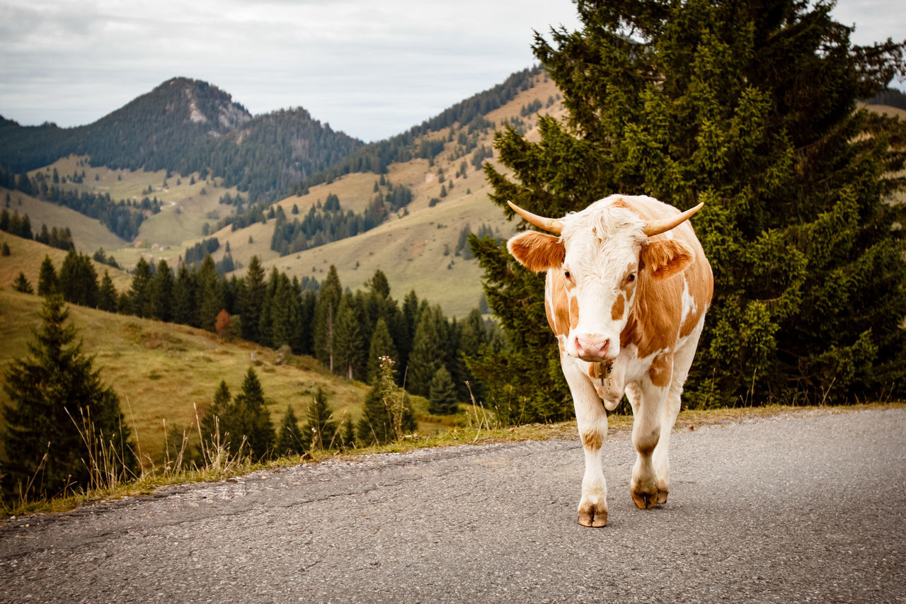 Beautiful stock photos of kühe, Animal Themes, Beauty In Nature, Country Road, Cow