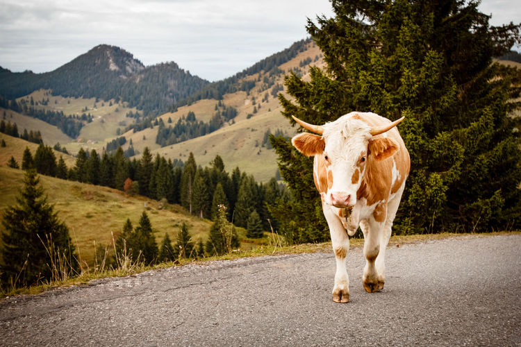 Alps Animal Themes Bavaria Bull Bullish Country Road Cow Domestic Animals Nature's Diversities Naturephotography Hills Landscape Mammal Mountain Mountain Range Nature One Animal The Mix Up Road Sky Standing Street The Way Forward Miles Away Tree EyeEm Selects Breathing Space Pet Portraits Lost In The Landscape