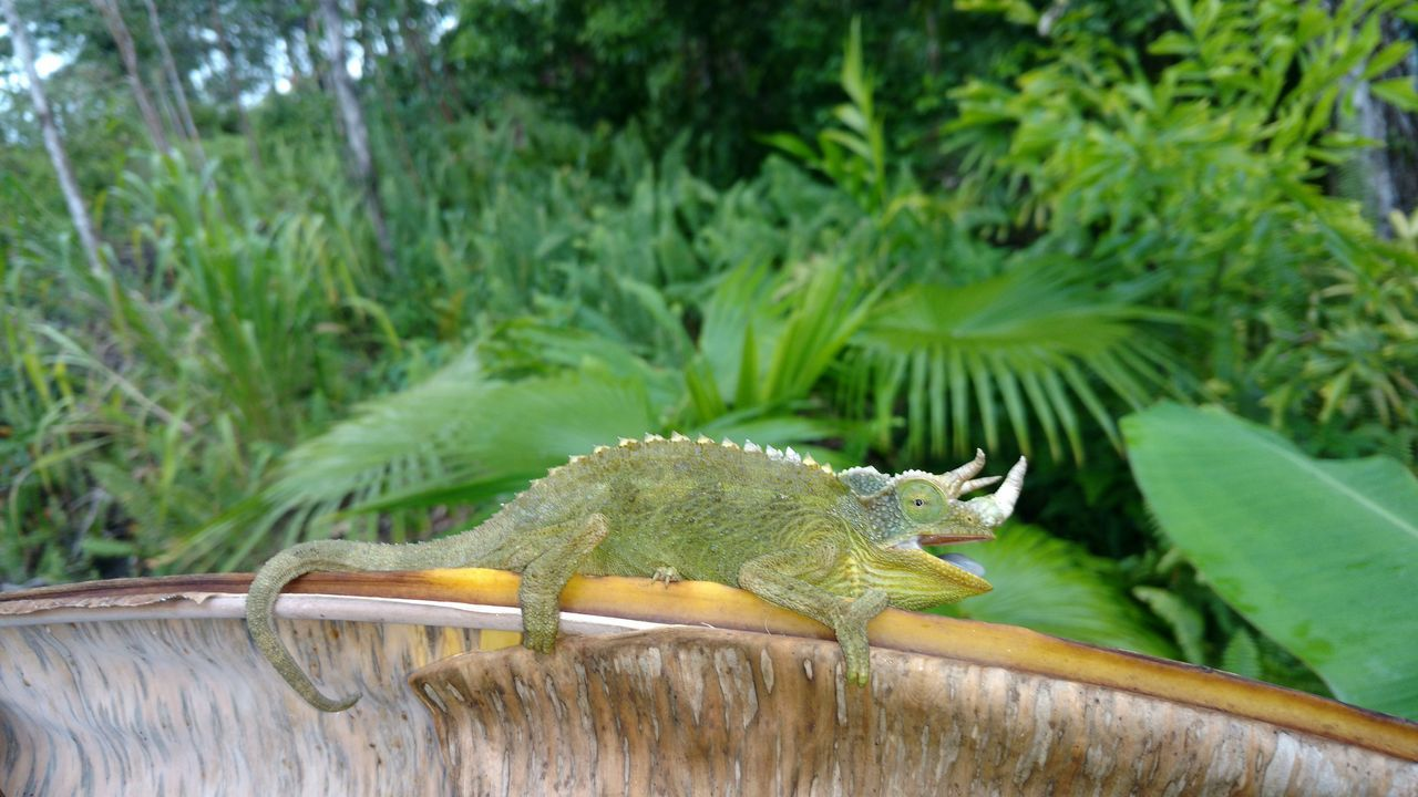 Animal Themes Animal Wildlife Close-up Day Green Color Hawaiishots Jacksons Chameleon No People One Animal Outdoors Reptile