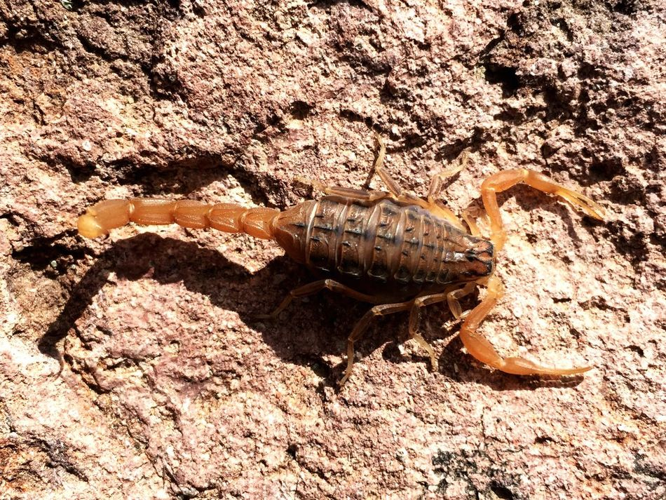 Beautiful stock photos of scorpion,  Animal Themes,  Animal Wildlife,  Animals In The Wild,  Arachnid