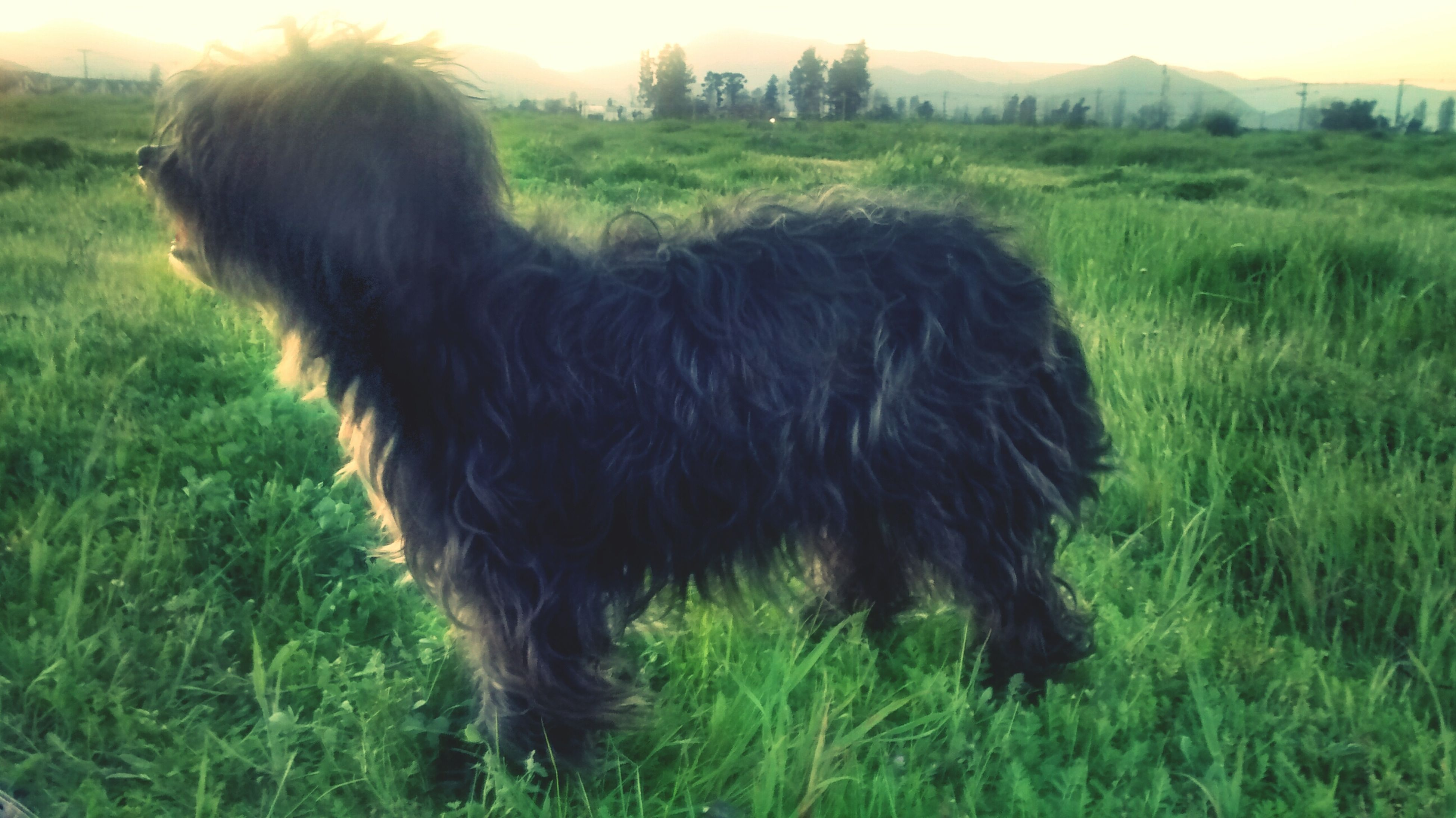 grass, domestic animals, animal themes, field, mammal, one animal, grassy, dog, pets, landscape, rural scene, growth, green color, nature, livestock, outdoors, farm, animal hair, day, no people