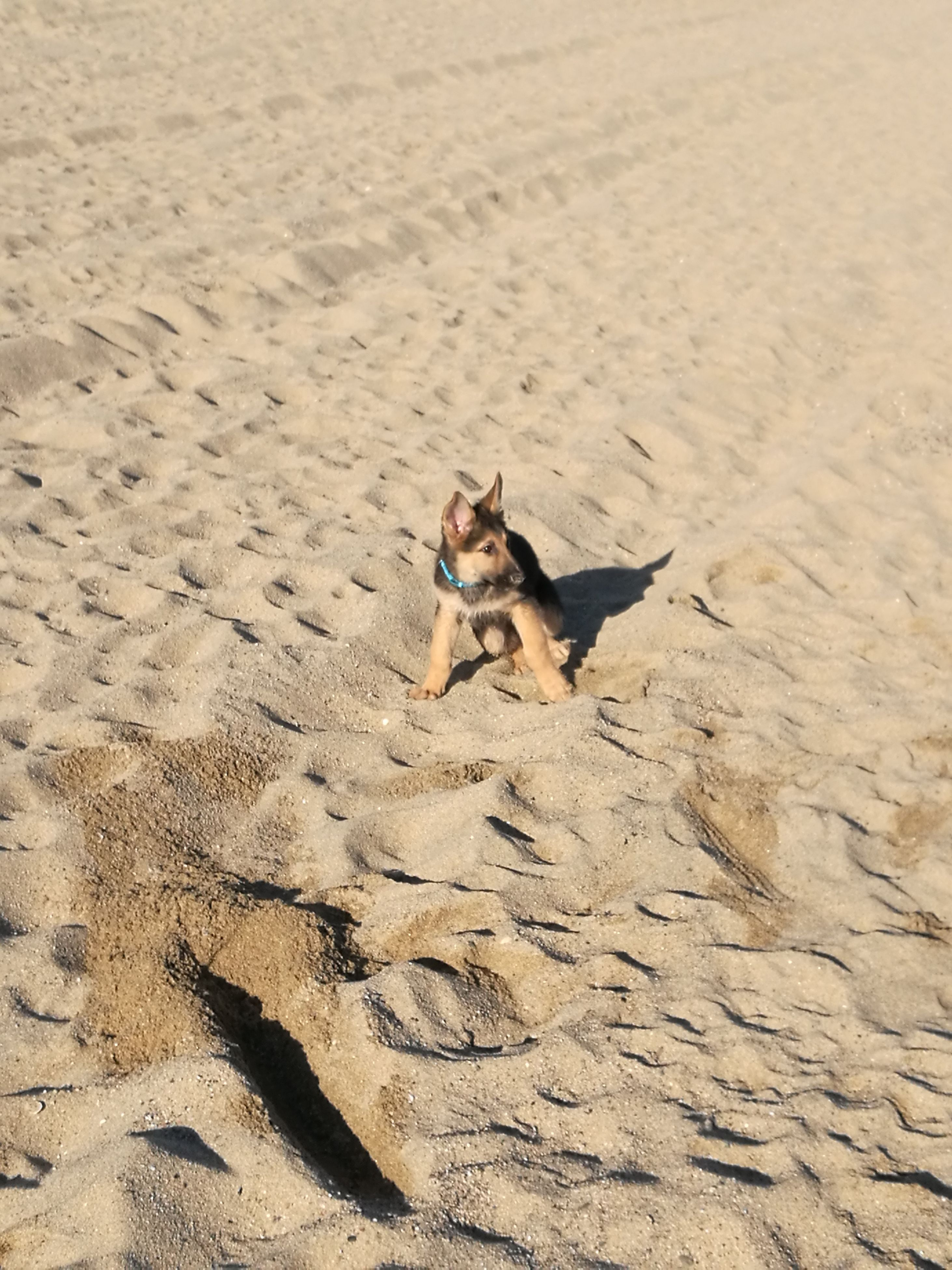 sand, one animal, pets, beach, animal themes, dog, mammal, domestic animals, no people, day, nature, outdoors, paw print