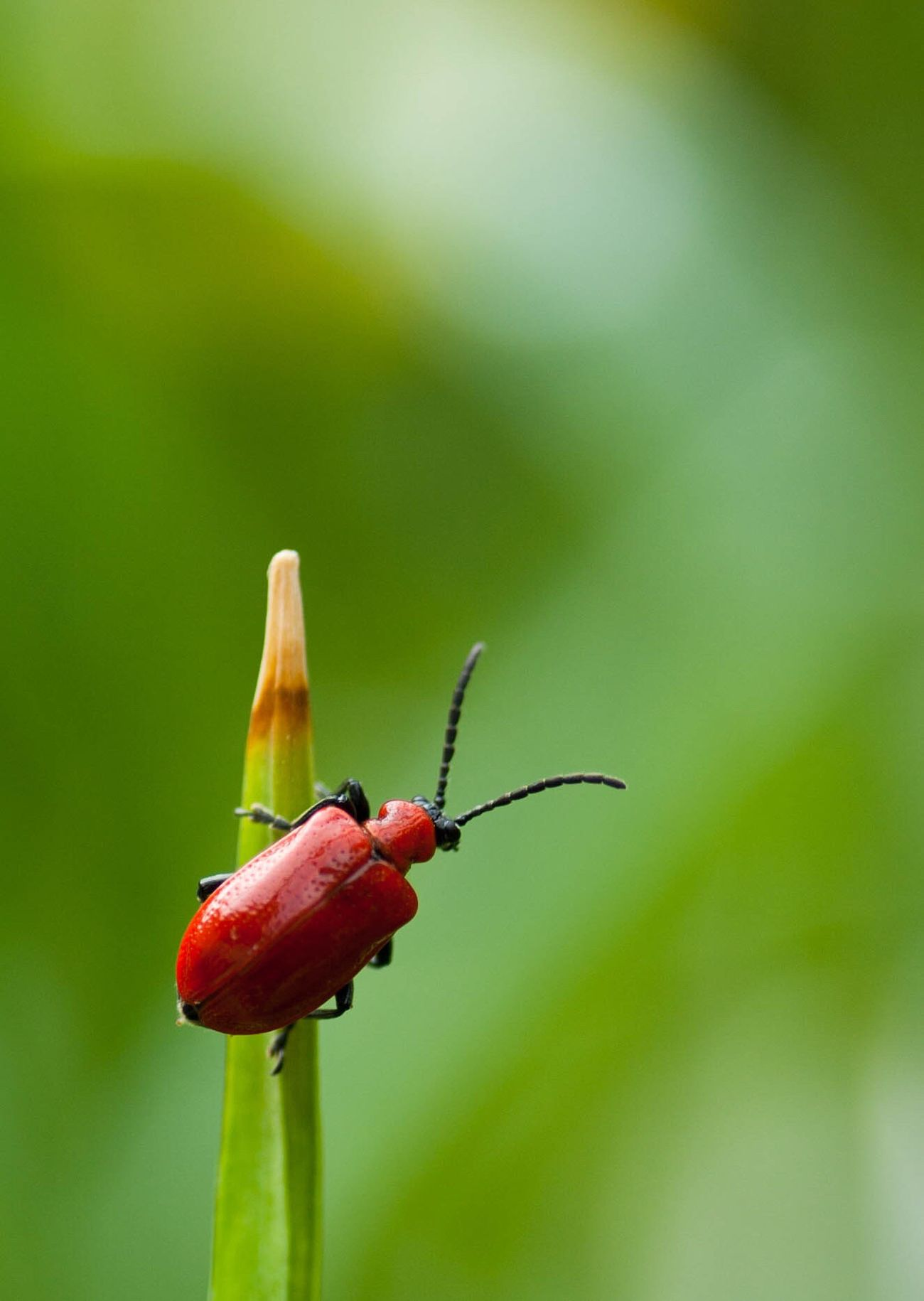 Red Beetle Bug Insect Macro Nature Close-up Wildlife Animals