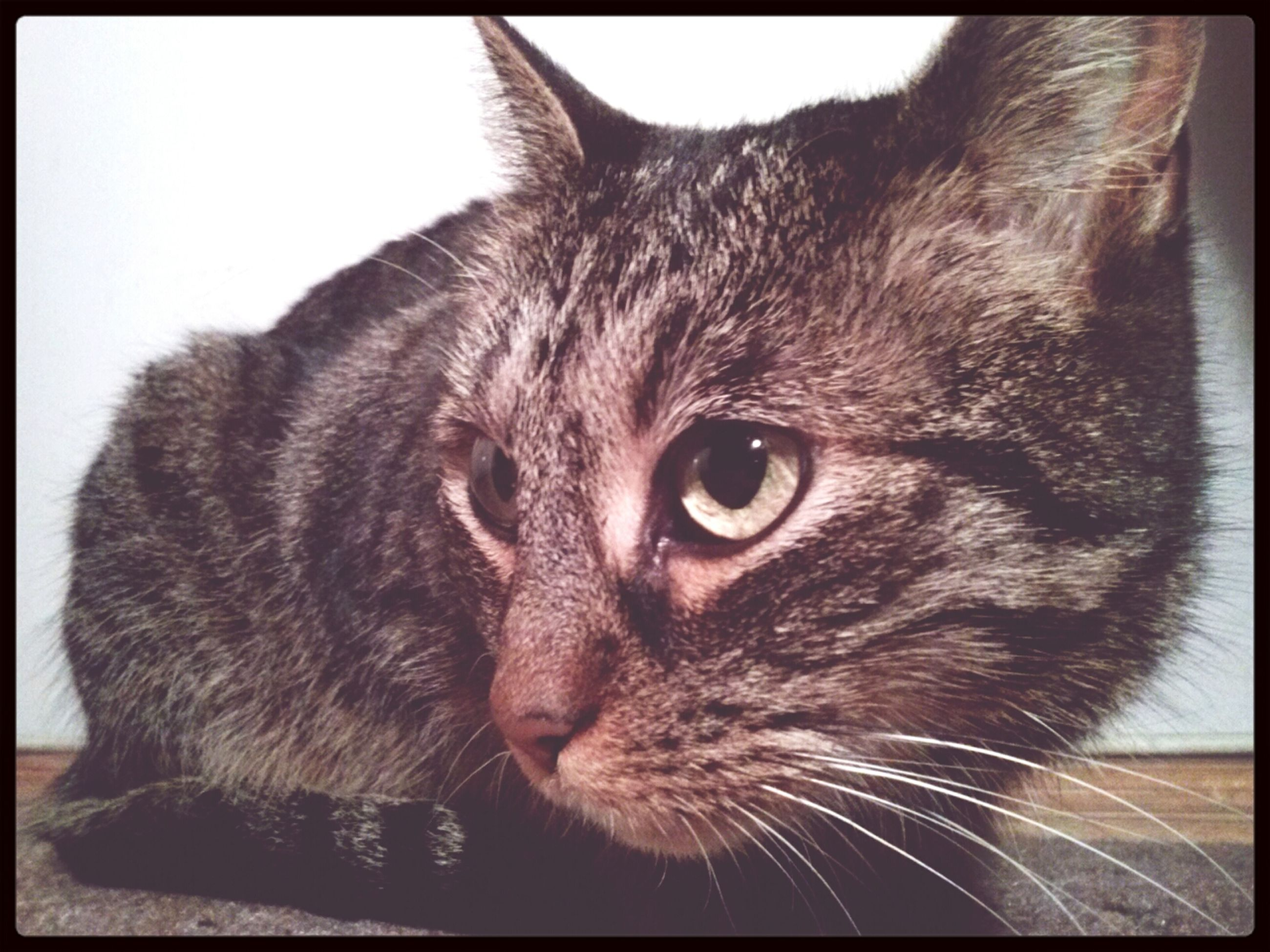 domestic cat, one animal, pets, cat, domestic animals, animal themes, transfer print, feline, mammal, whisker, auto post production filter, indoors, close-up, animal head, animal eye, staring, portrait, alertness, looking at camera, animal body part