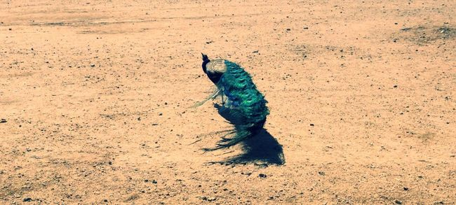 Nature Multi Colored Green Color Turquoise Colored Vibrant Color Green Beauty In Nature No People Desert Dust Dust In The Wind Leaving Peacock Peacock Feathers Glendale, Arizona Random Beauty Desert Life Dirt Wide Shot Bird Azul Off To See The World Peaceful Tranquil