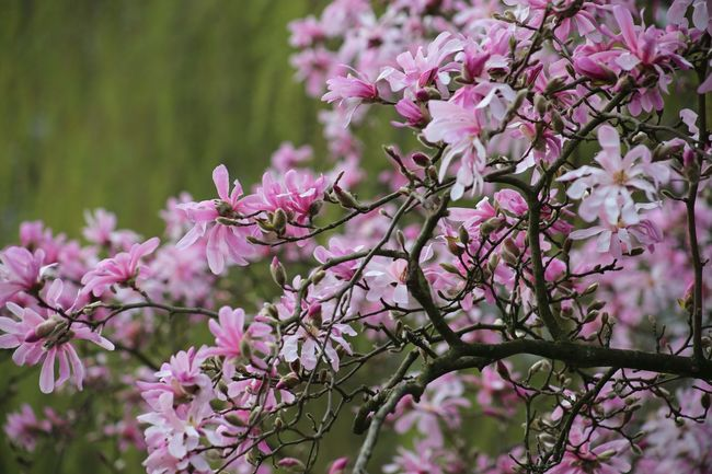 Landscape Magnolia Stellata Branch Plant Nature Fragility Freshness Beauty In Nature Magnolia Loebneri Blossom Almond Tree Cloud - Sky Magnolienknospe Magnolias Blooming Growth Scenics Springtime Close-up Pink Color Zen Wellness Spa Magnolia Tree