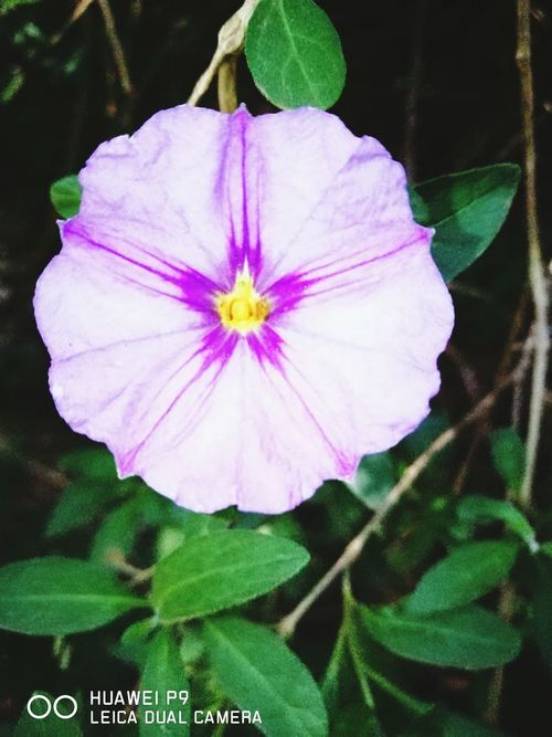 Aubrieta Coltorum Purple Flower Garden Trees bushes