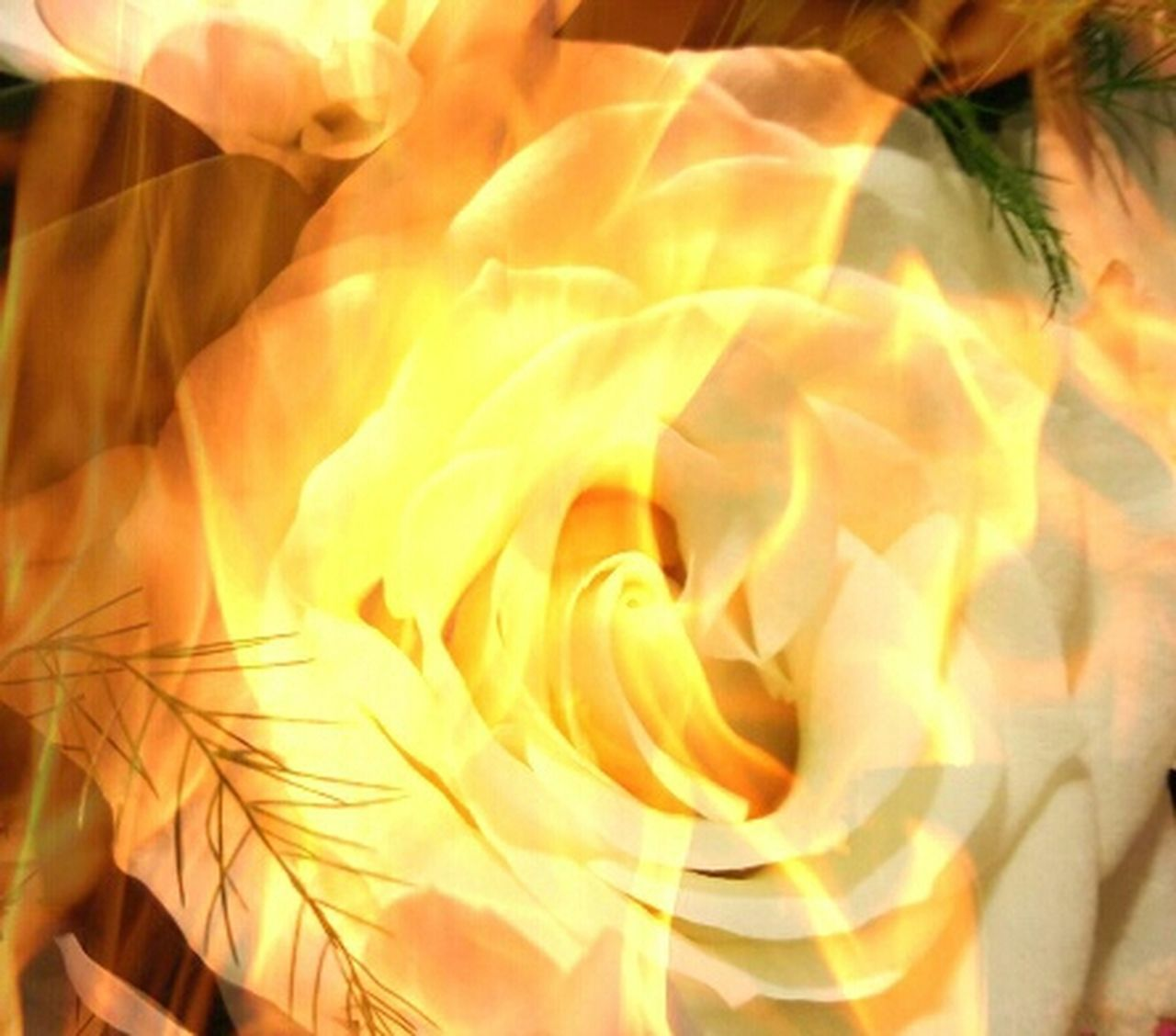 Rose🌹 Flower On Fire Yellow Flowers Gold Flora Close-up Macro Vibrant Color Single Flower Full Frame Petal Manipulation