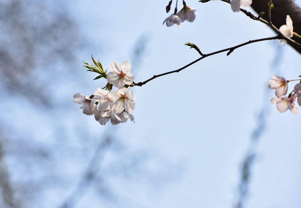 樱花 Flower