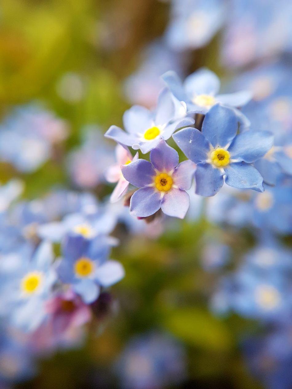 Flower Forget Me Not Myosotis Fragility Springtime Plant Nature Close-up Flower Head Selective Focus Petal Blossom Beauty In Nature Blue