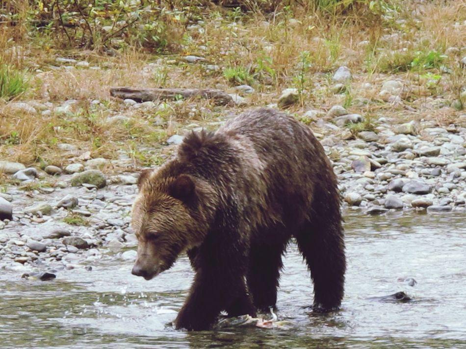 Beautiful stock photos of bear, Animal Themes, Animals In The Wild, Bear, Brown Bear