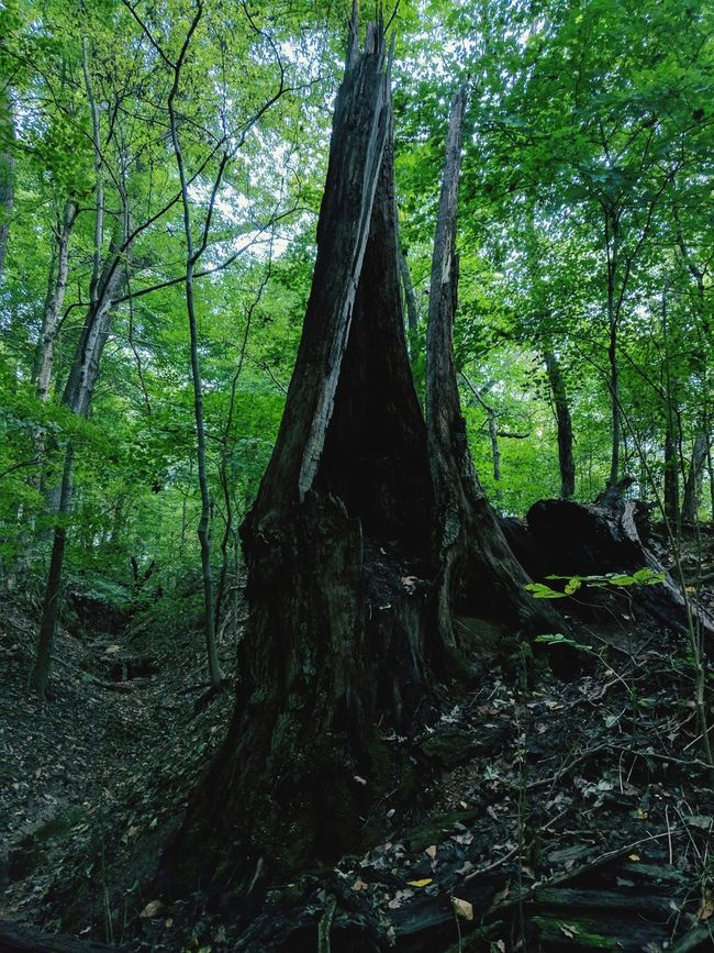 Dead wood Tree Trunk Tree Nature Forest Growth Green Color Day Branch No People Outdoors Beauty In Nature Wood - Material Tranquility