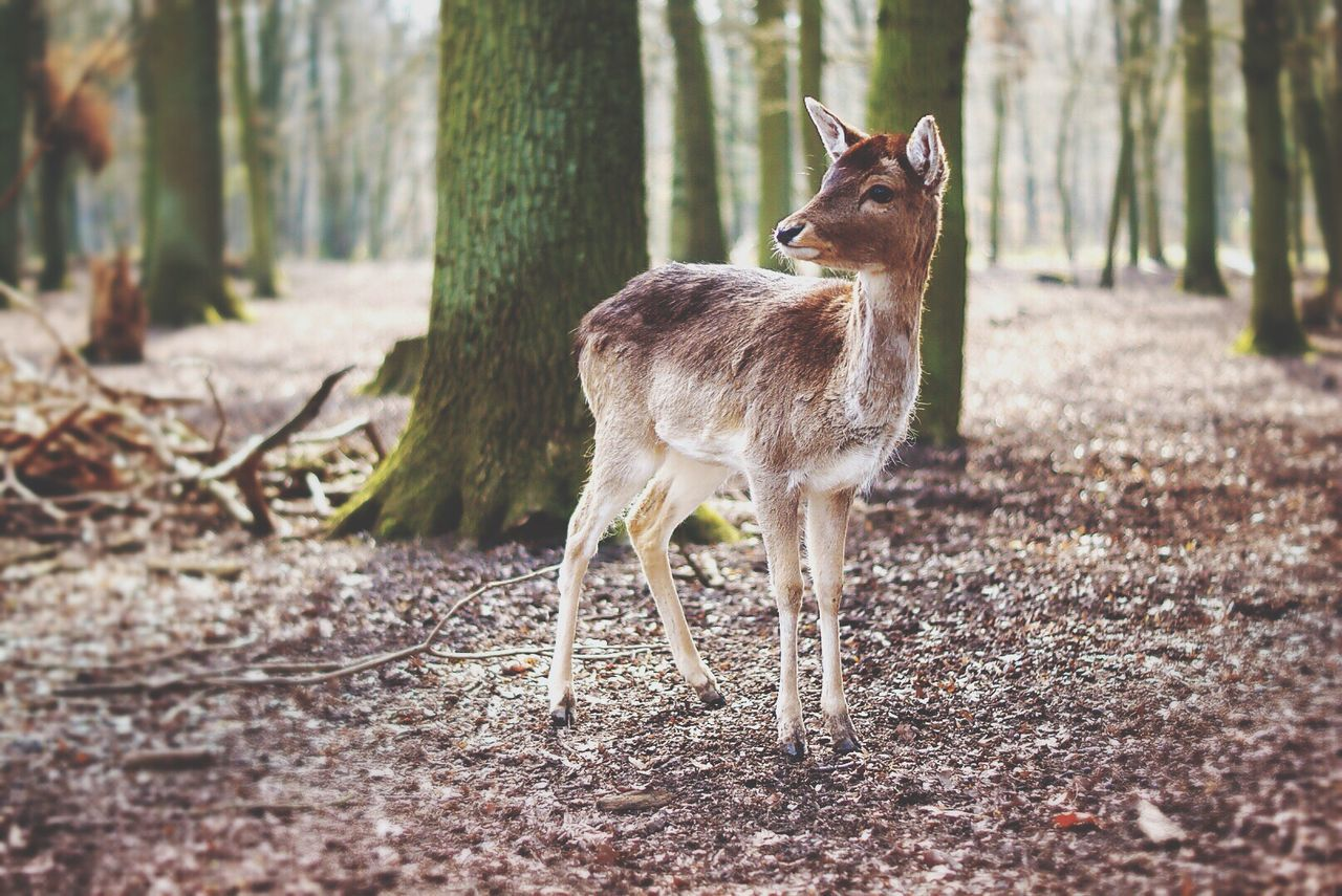 animal themes, deer, one animal, day, animals in the wild, mammal, nature, forest, field, animal wildlife, focus on foreground, tree, outdoors, full length, no people, standing, beauty in nature