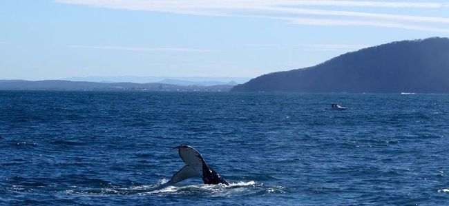 Tail spin Check This Out Whale Whale Watching Tail Ocean Taking Photos Nelson Bay Blue Wave