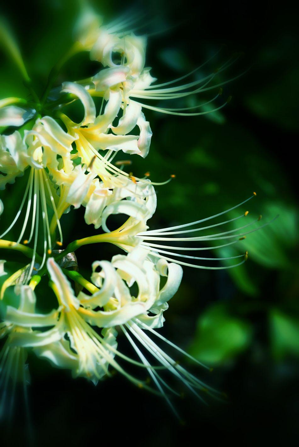 彼岸花 Cluster Amaryllis Flowerporn Nature_collection Macro_collection