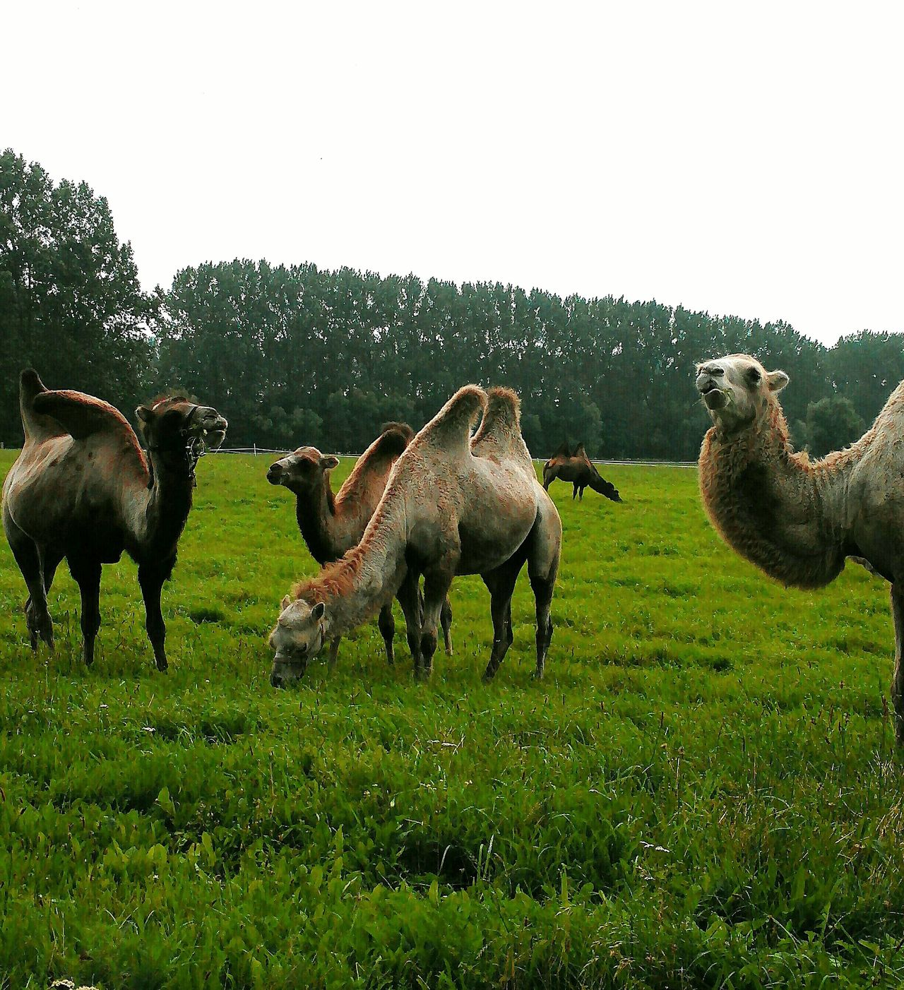 Kamele Sind Los In Meck-Pom Large Group Of Animals Grazing No People Outdoors Livestock Animal Wildlife