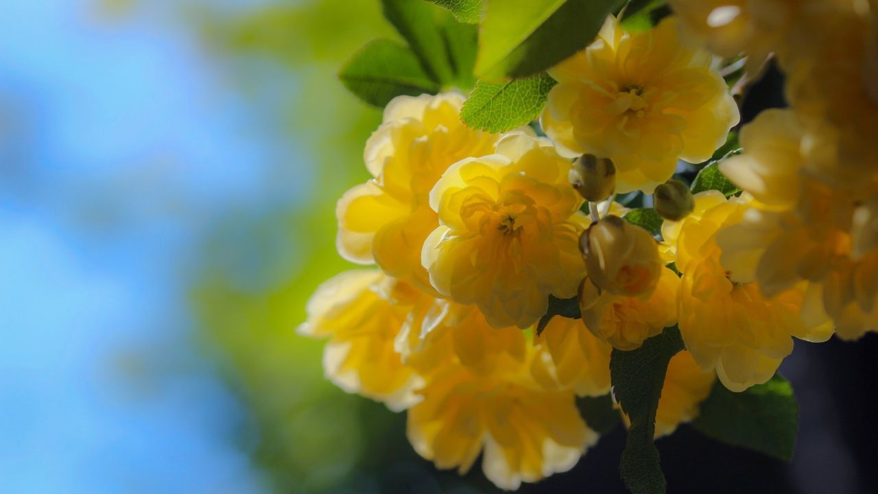Roses Yellow Rose Flower Sky Nature In My Garden Beautiful Nature Spring Into Spring Spring Spring Flowers