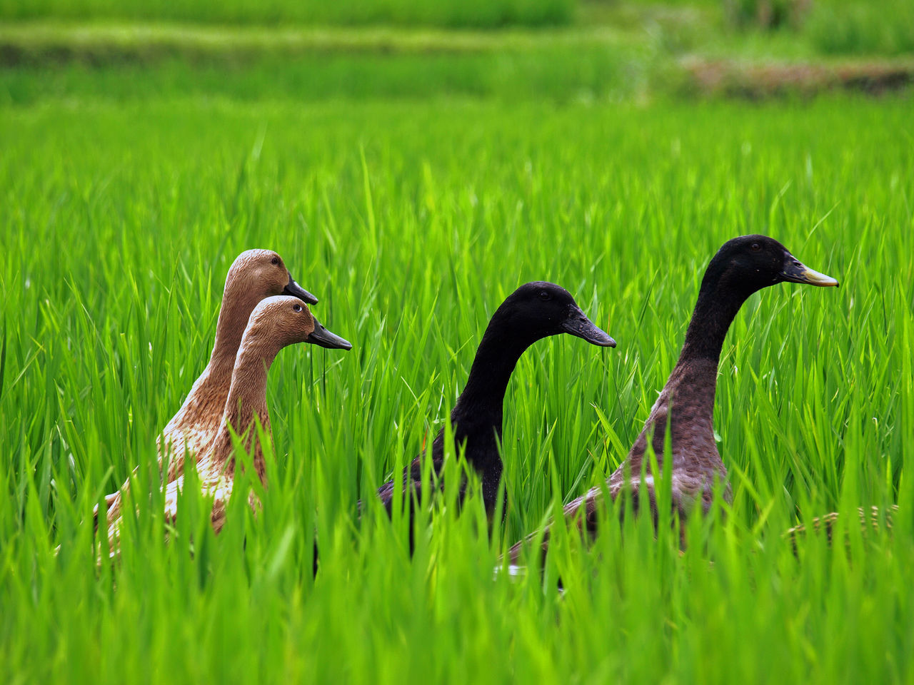 Bird Coureurs Indiens Curious Duck Ducks Field Four Ducks Grass Grassy Green Color Indian Runner Duck Indian Runnes Indian Running Ducks INDONESIA Indonesia_photography Natural Beauty Nature Nature Nature Photography Nature_collection Rice Rice Field Ricefield Serenity Wildlife Neon Life