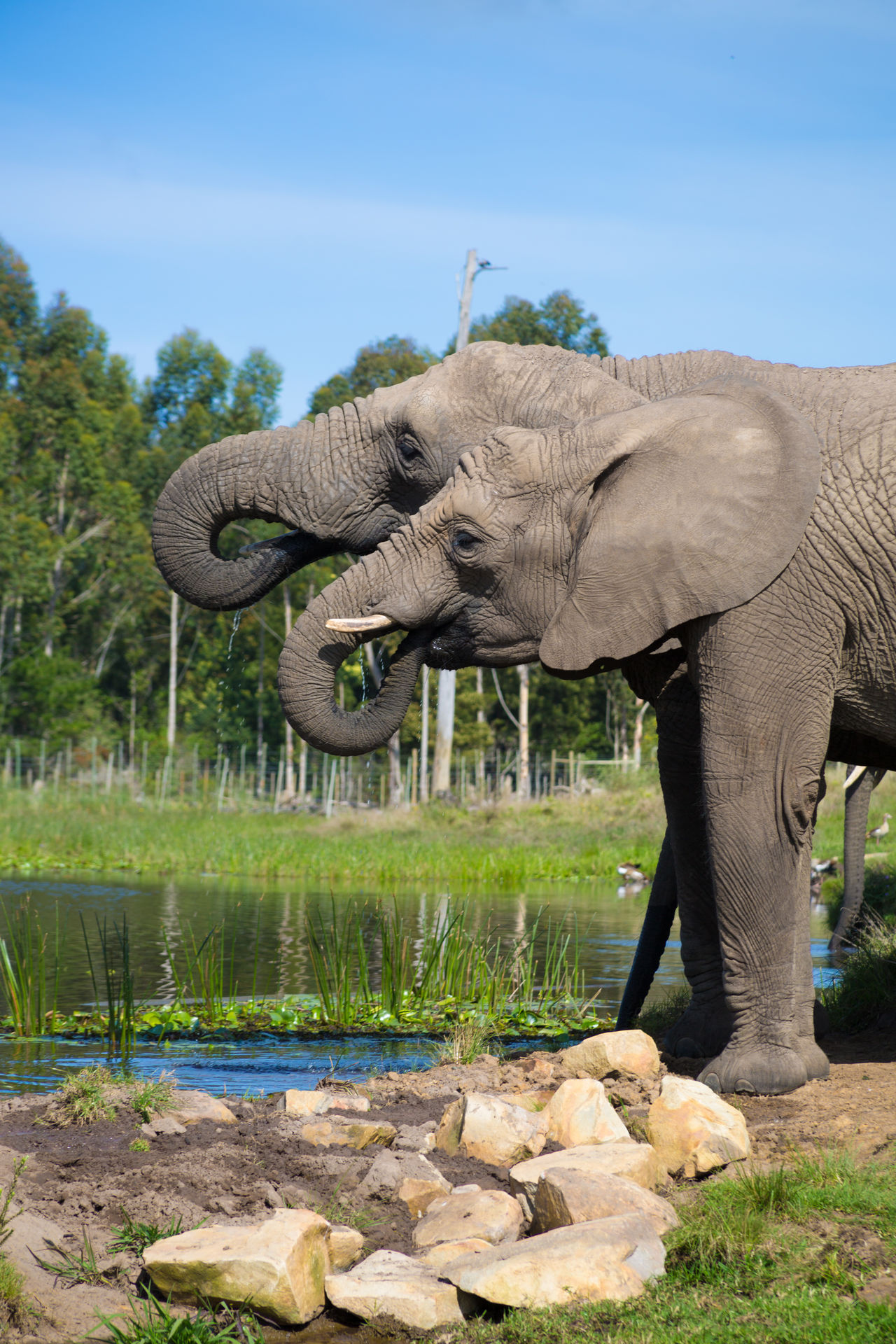 African Elephant Animal Body Part Animal Themes Animal Trunk Animal Wildlife Animals In The Wild Clear Sky Day Elephant Grass Mammal Nature No People One Animal Outdoors Safari Animals Sky Standing Tree Tusk Two Elephants Drink Water