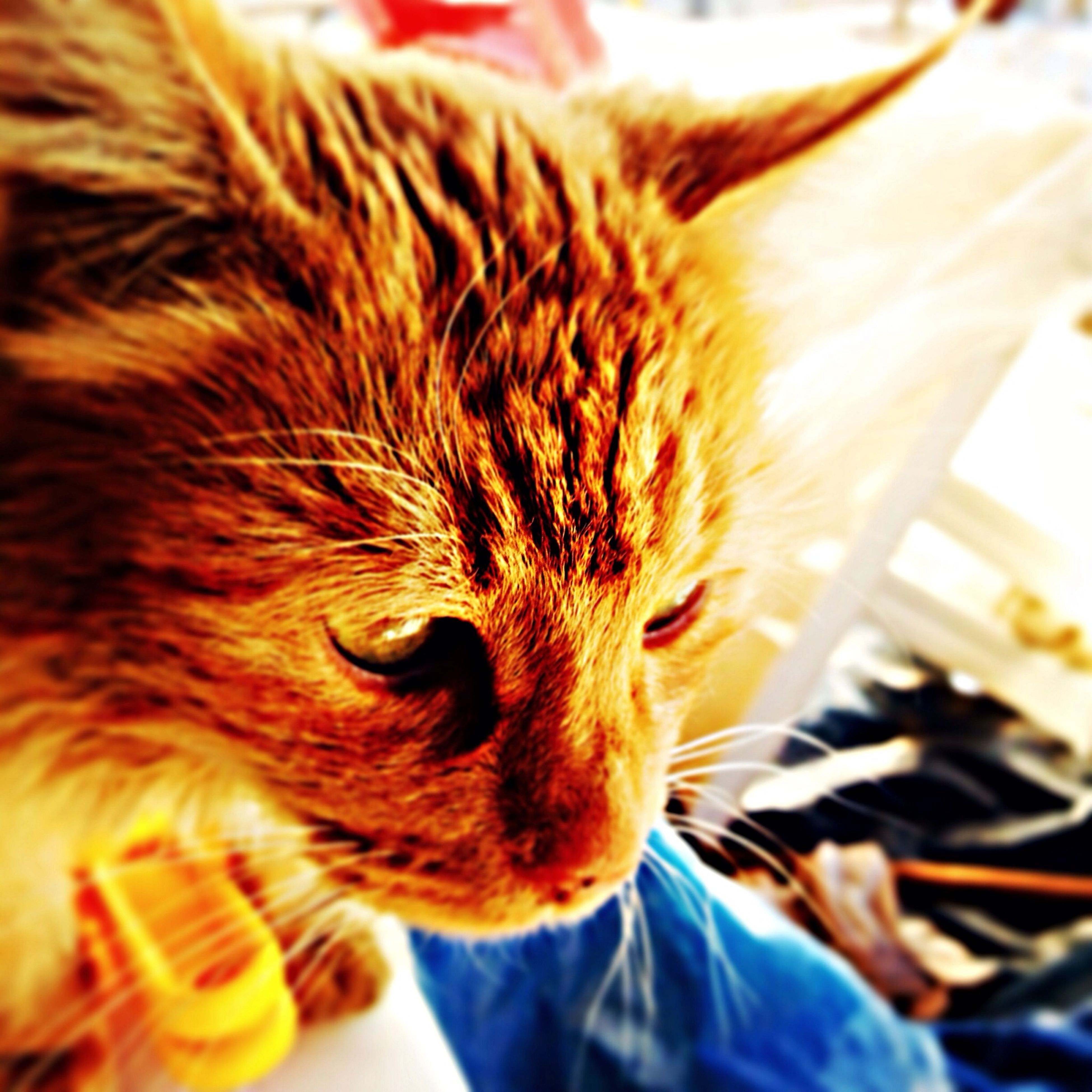 domestic animals, pets, one animal, animal themes, mammal, domestic cat, indoors, cat, feline, whisker, close-up, animal head, relaxation, looking away, focus on foreground, home interior, animal body part, part of, selective focus, home