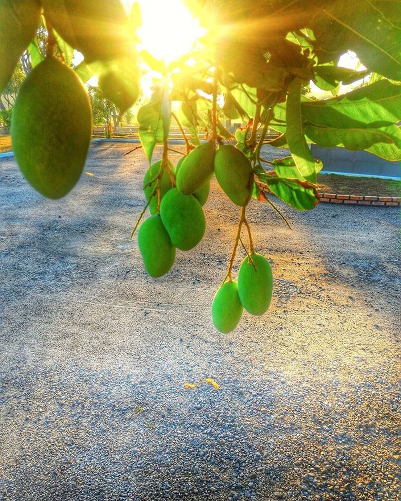 🌄🍏🍊🍋 Goodmorninginsta Instamango Mango Fruits Sunlight Sunrays Sunrise Nofilter Asusphotography Pixelmaster Httc Natureperfection Naturegram Zenfonephotography