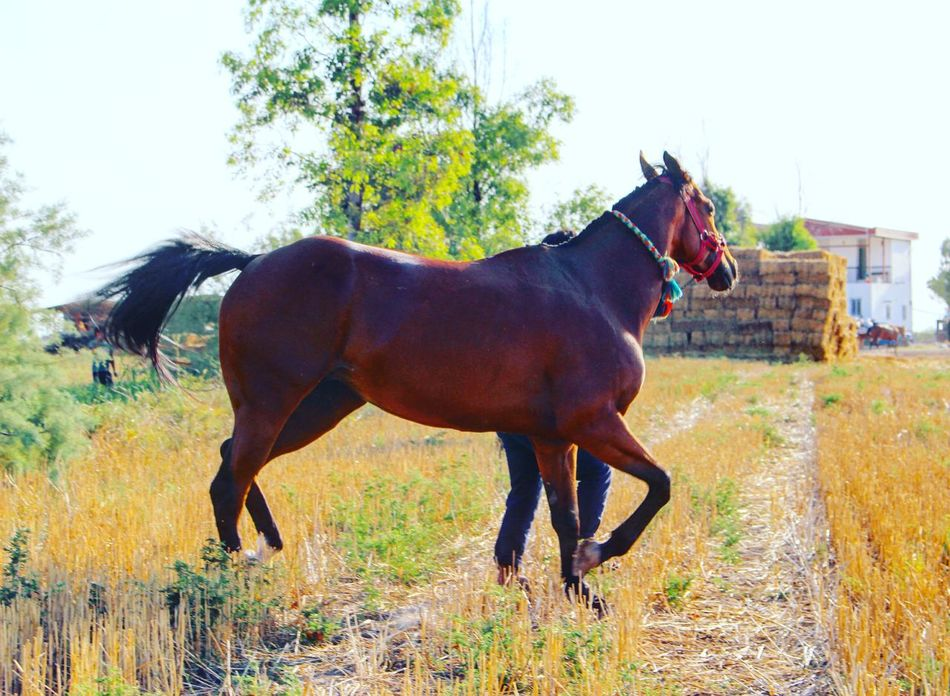 Farm Farm Life Horse Beauty Beautiful Beautiful Horse Love Big Horse  HERO Lovely Champion Sport Sports Animal Animals Animalover Horse Love Horse Lover Horselovers Horse Lovers Turkmen Turkmen Sahra Turkmensahra Iran