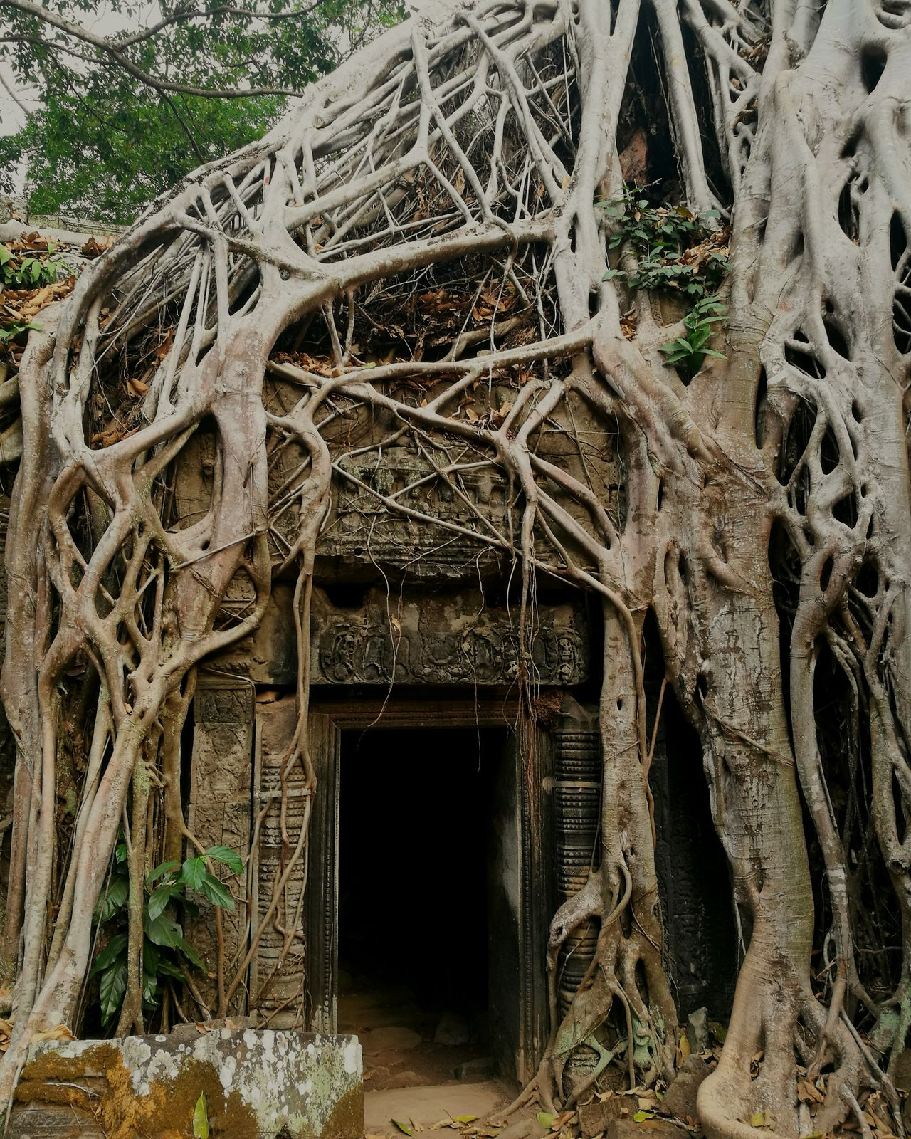 Angkor Thom, Siem Reap, Cambodia Trees Roots Temple Ancient Old Buildings Old Arhitecture Nature Tree No People Day Close-up Outdoors Branch