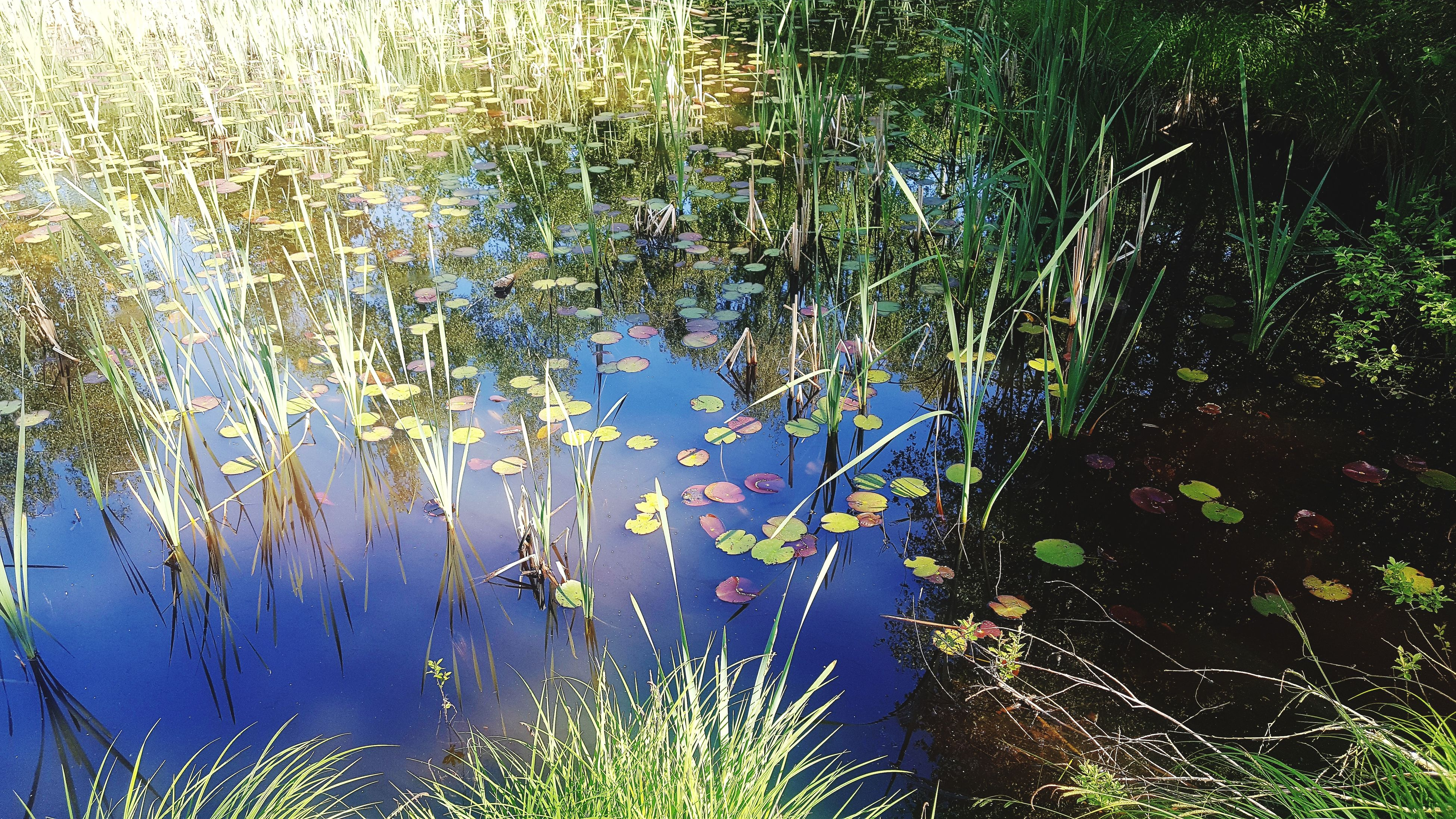 plant, nature, growth, water, leaf, beauty in nature, day, no people, lake, outdoors, tranquility, reflection, floating on water, water plant, water lily, lily pad, grass, flower, animal themes, freshness