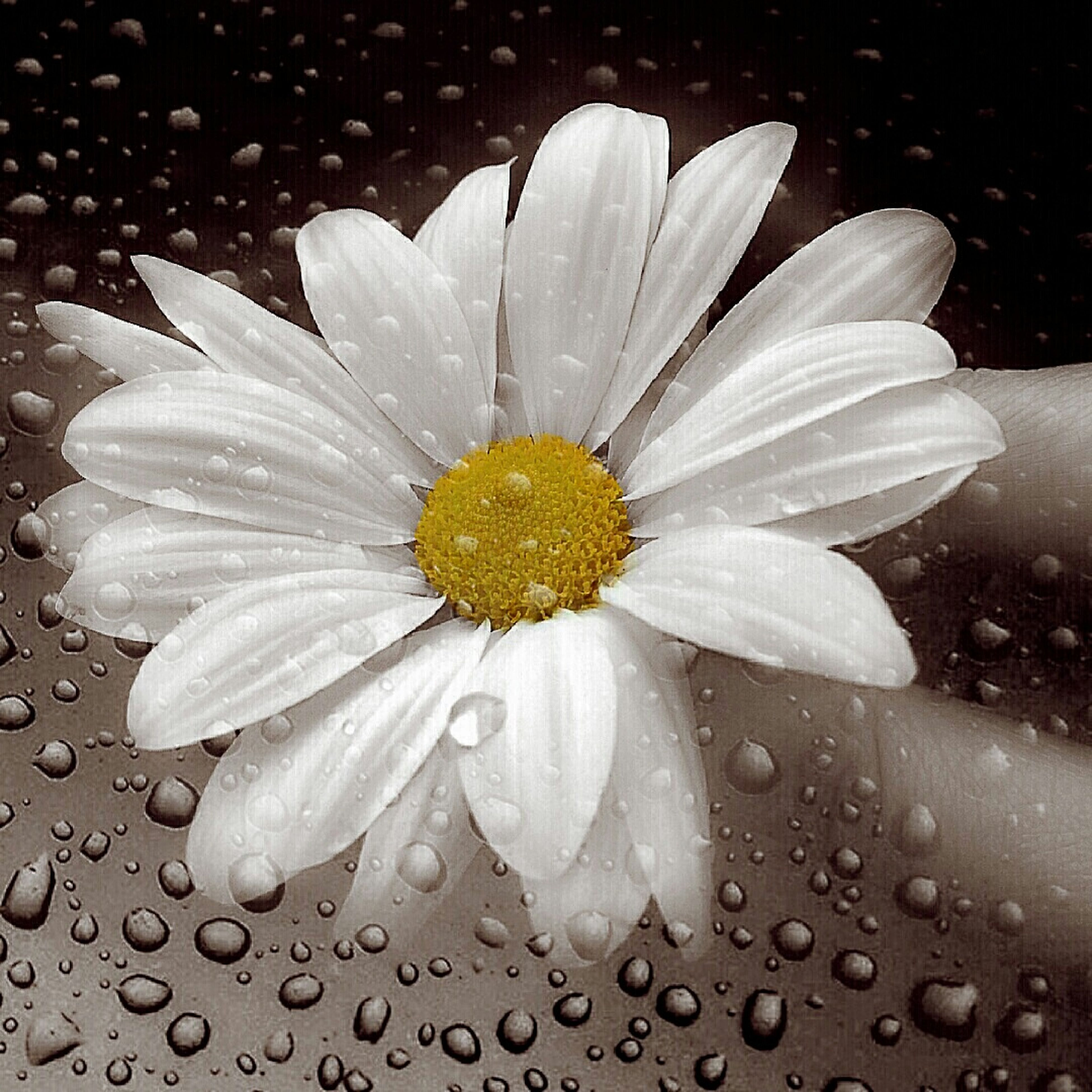 flower, petal, freshness, flower head, fragility, single flower, water, white color, pollen, beauty in nature, close-up, drop, nature, growth, blooming, wet, daisy, high angle view, plant, in bloom
