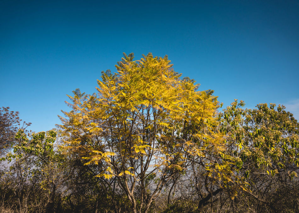 Ancestral Beauty In Nature Blue Branch Day Growth Low Angle View Monte Alban Nature Nature Photography Nature_collection No People Oaxaca Outdoors Prehispanic Ruins Scenics Sky Travel Photography Tree Trees Yellow