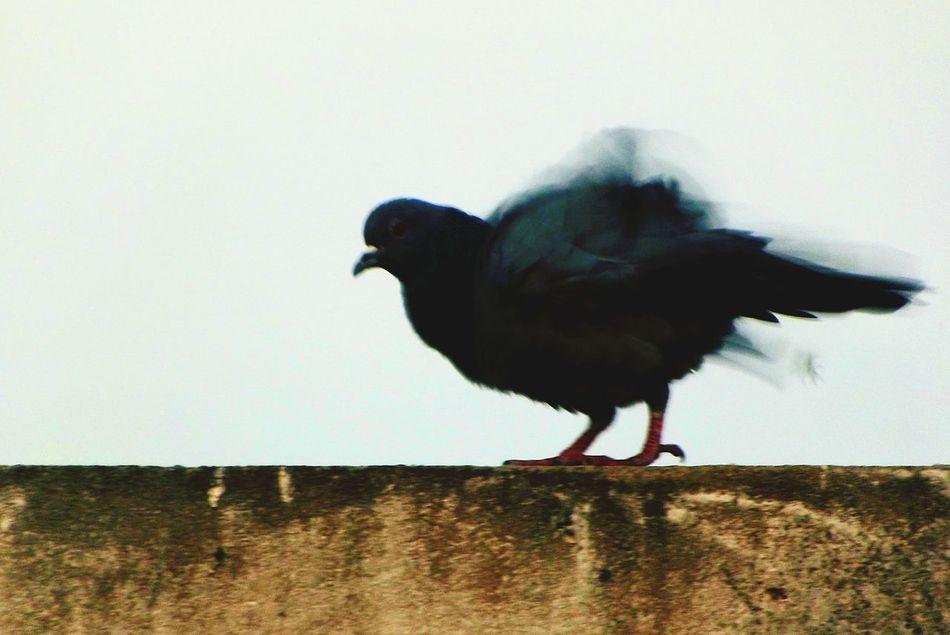 Mr. Ruffled. Pigeons Pigeon Bird  Pigeon Love PigeonSoCute Open Edit Nature Shooting In The Evening Light