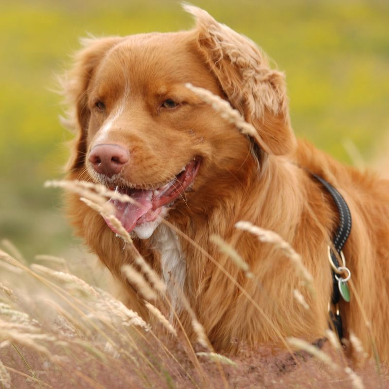Animal Themes Best Frends Close-up Day Dog Domestic Animals Focus On Foreground Grass Mammal No People Nova Scotia Duck Tolling Retriever One Animal Outdoors Pets
