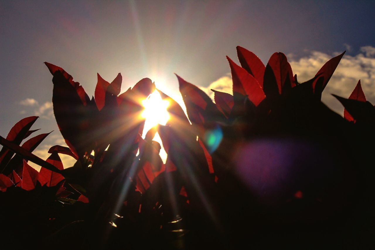 Sunlight Sun Nature Sunbeam Beauty In Nature No People Growth Close-up Outdoors Sky Day Red
