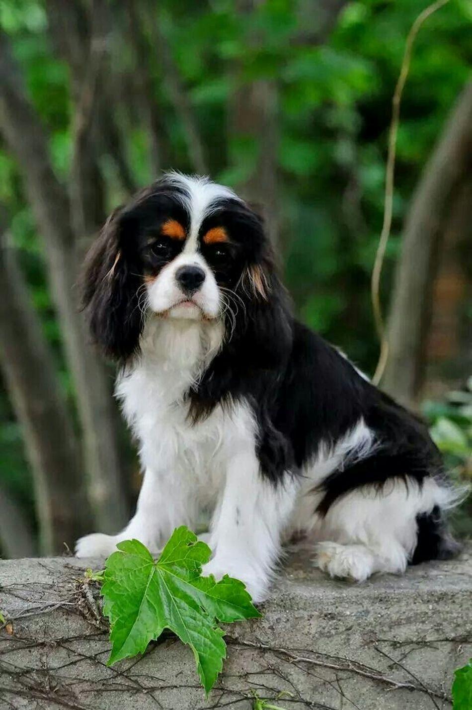 Spring Cavalier Cavalier King Charles Spaniel Puppy Cavalier Cavalier King Charles Ckcs Dog