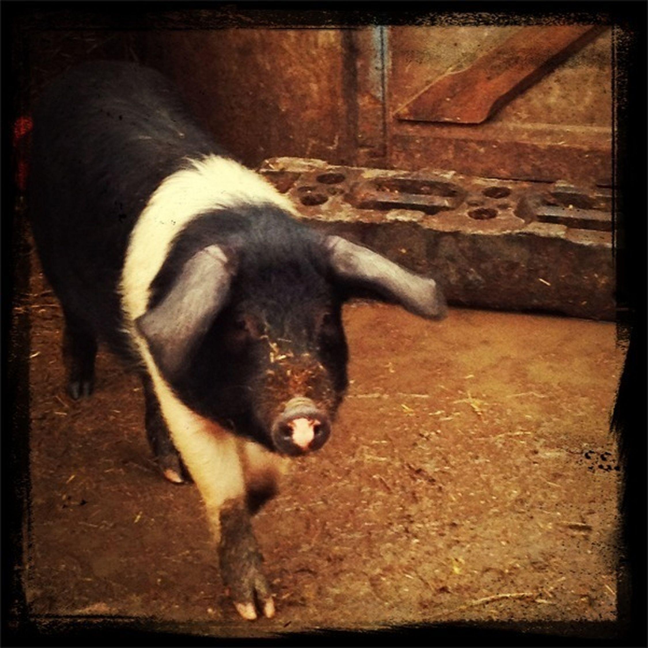 #pig #animal #cute #aww #farn