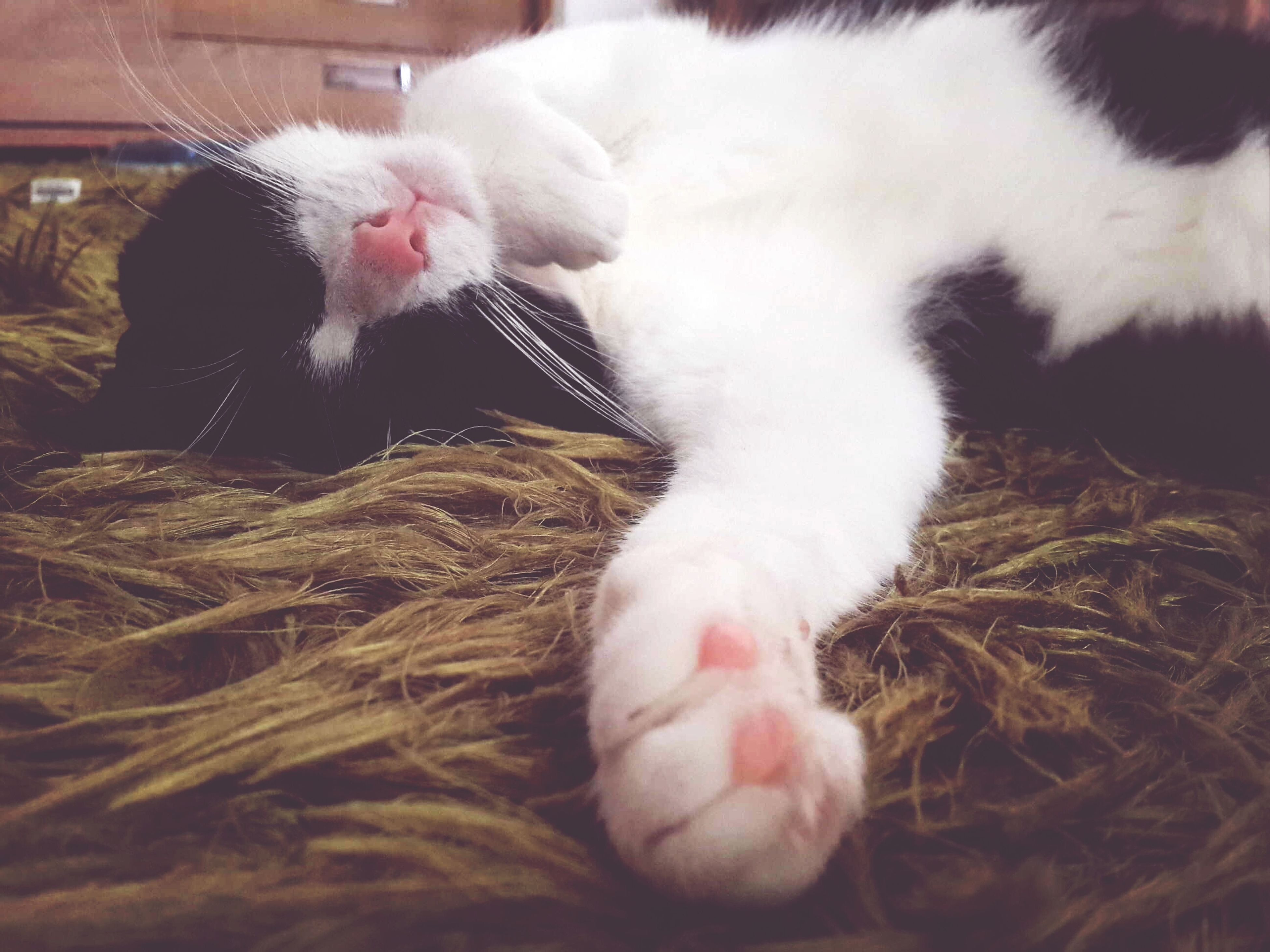 domestic animals, animal themes, pets, mammal, one animal, domestic cat, indoors, cat, feline, relaxation, close-up, resting, whisker, sleeping, white color, lying down, zoology, home interior, animal head, young animal