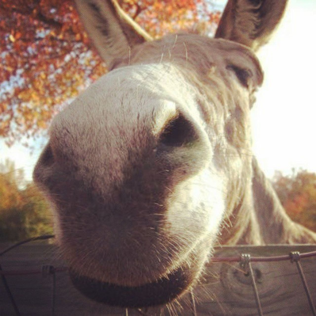 Donkey Nose