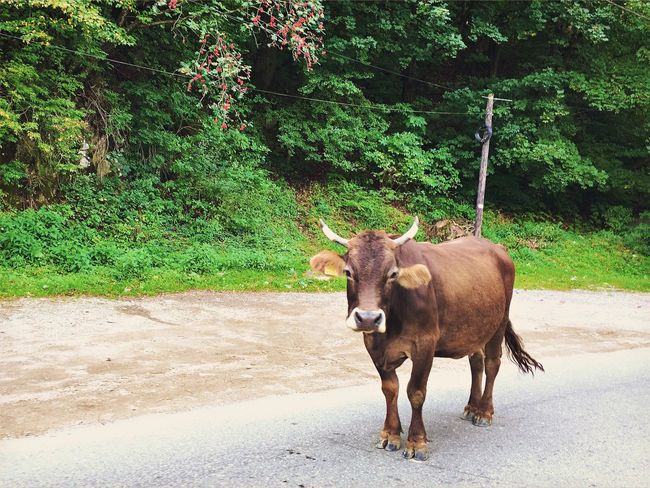 Animal Themes Road Tree One Animal Domestic Animals Green Color Herbivorous Outdoors Nature Countryside Country Road No People Visual Witness Visit Romania ShotoniPhone6s Hipstography My Own Style Of Beauty Shootermag EyeEm Traveling Beauty In Nature Cow
