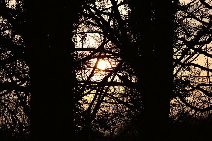 The sunset through the trees as I was walking back to my car from the Runway Visitors Park Tree Nature Sky Low Angle View No People Beauty In Nature Growth Silhouette Outdoors Day Sunset Sunset Through The Trees