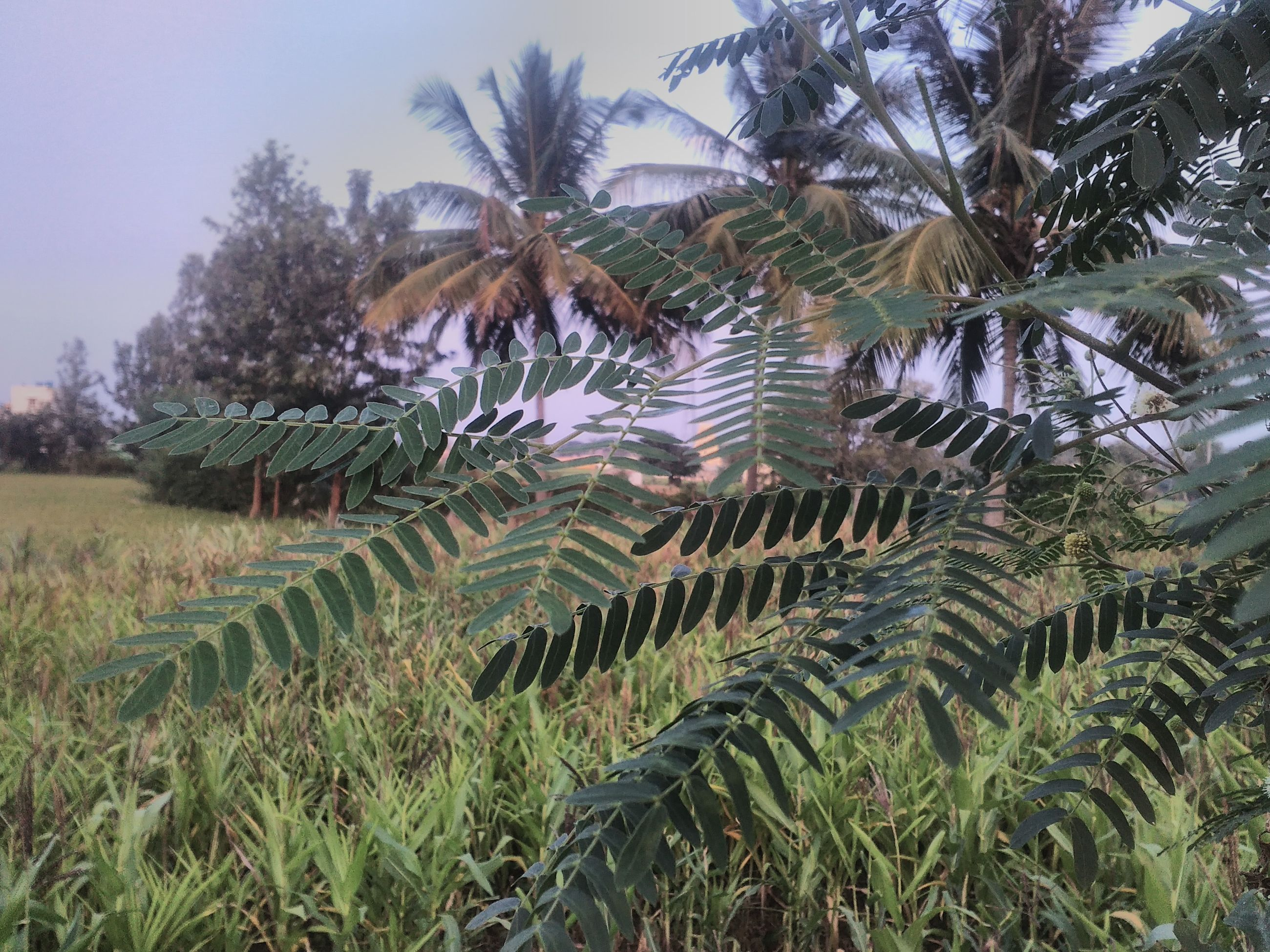 tree, growth, palm tree, nature, beauty in nature, agriculture, tranquil scene, tranquility, scenics, no people, outdoors, landscape, day, olive tree, sky