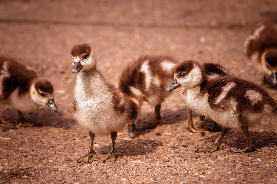 Little ducklings Animals Baby Beautiful Birds Capture The Moment Close-up Cute Duck Duckling Ducklings Ducks Egyptian Goose Exceptional Photographs EyeEm Best Shots EyeEm Best Shots - Nature EyeEm Nature Lover Flock Flock Of Birds Geese Goose Little Lovely Nature Wildlife Young Animal