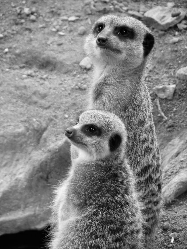 Animals Big And Small Black And White Blackandwhite Looking Meercats Meerkat Zoo
