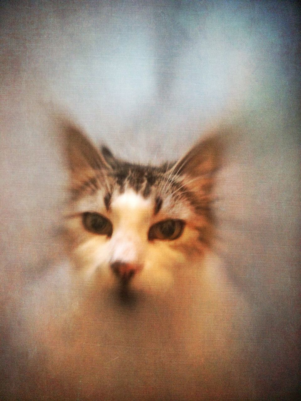 one animal, domestic cat, looking at camera, indoors, animal themes, pets, close-up, portrait, no people, domestic animals, feline, mammal, day