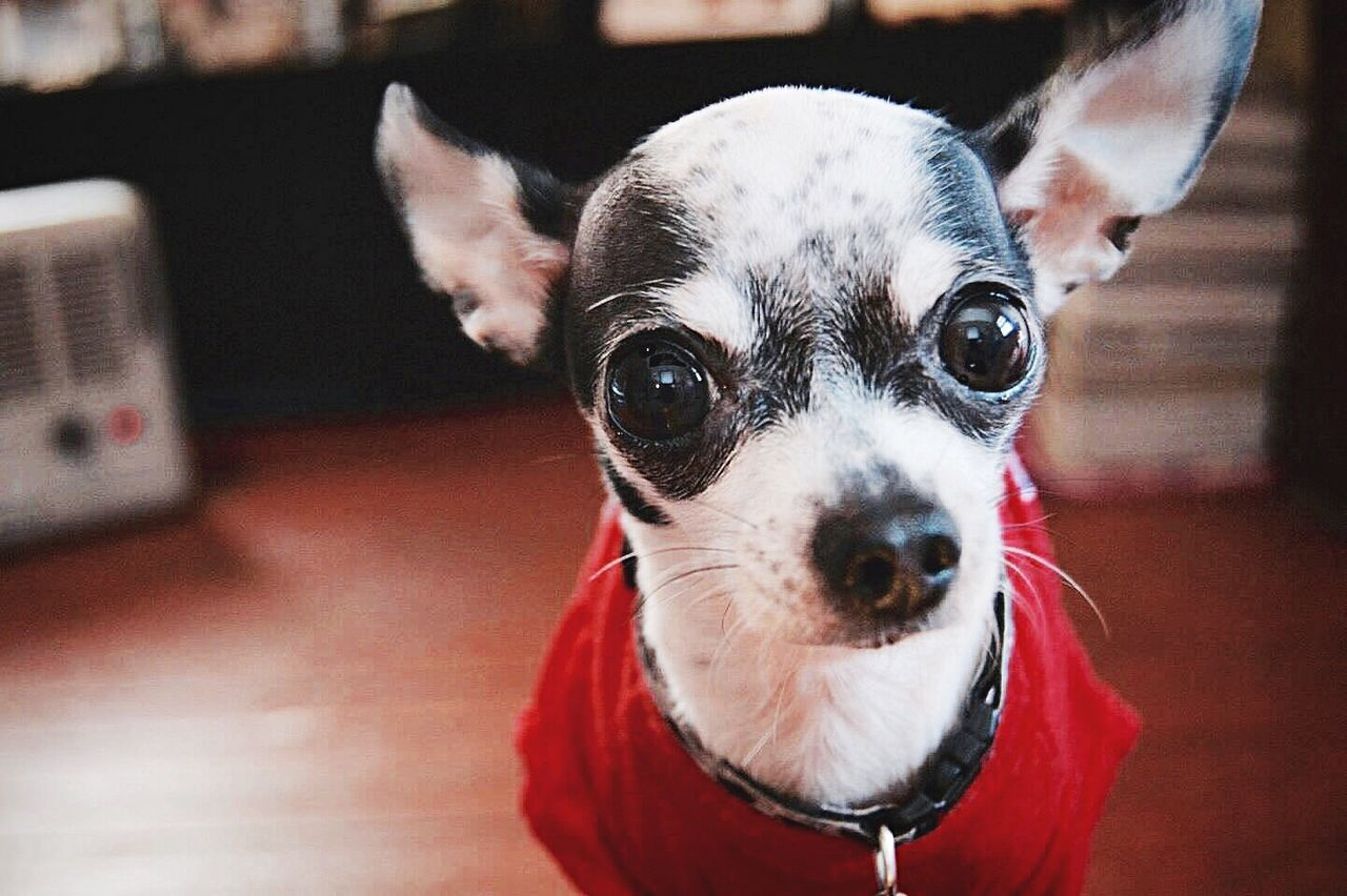 Portrait Of Chihuahua Dog At Home